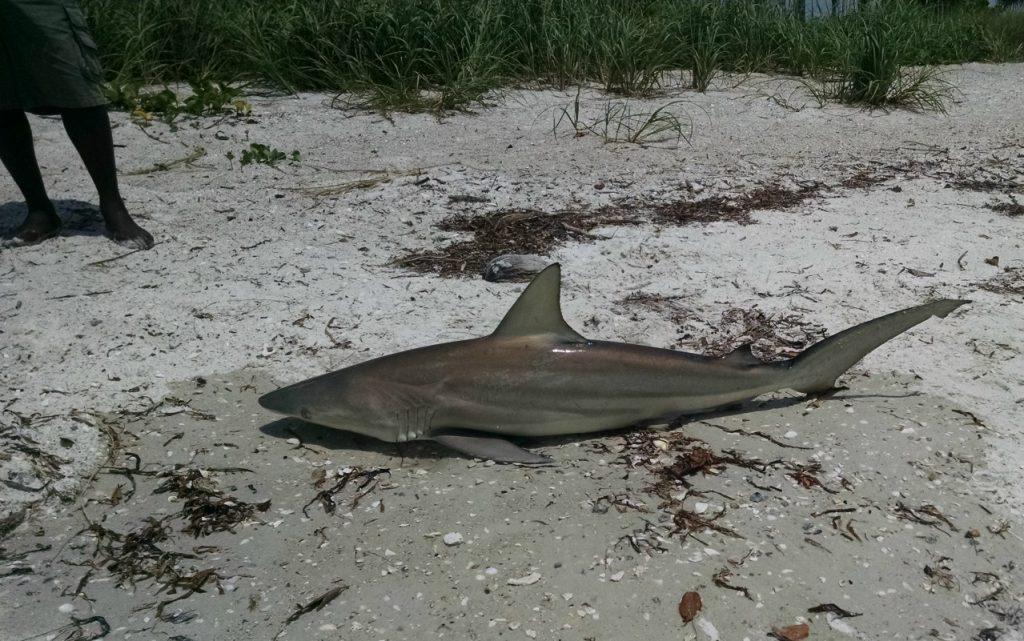 large_sun_shark